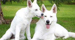 Il prezzo di un cucciolo di razza: pastore svizzero bianco