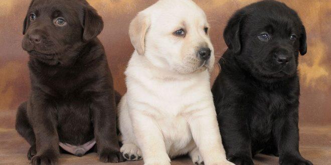 Labrador Retriever: il cane ideale per la famiglia